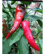 Cyklon - a bold and beautiful red hot pepper - $4.50