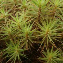 200 Spores - Hair Cap Moss - $9.99