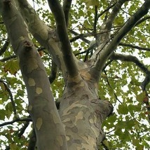 SHIP FROM USA London Plane Tree Seeds (Platanus Acerifolia) 200+Seeds UDS - $40.46