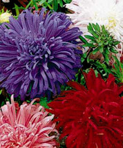 Aster Seeds, Giants Of California, Mixed Asters, Heirloom Flower Seeds 50ct - $14.39