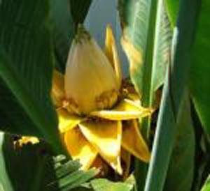 Chinese yellow banana