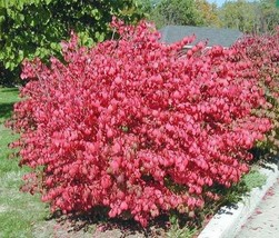 "Dwarf Burning Bush plant 4"" pot Hardy Shrub (Euonymus Alatus) image 2"