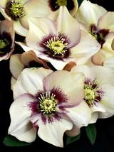 1 Honeymoon Sandy Shores Lenten/Christmas Rose Helleborus SHADE Gallon Pot - $54.99