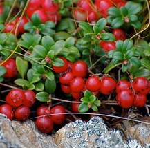 Details about Mountain Cranberry 50 seeds Vaccinium Vitis-idaea * Wild Fruit * E - $12.74
