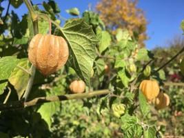 5 PCS Cape Gooseberry Live Plant Edible Physalis Peruviana Golden Berry ... - $72.00