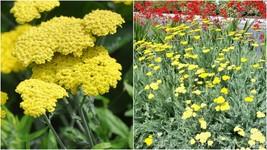 1 Starter Plant Achillea Moonshine - Beautiful Home Gardening D05 - $31.99