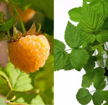 Anne golden ever bearing raspberry plants - large and sweet berries - po... - $35.58+