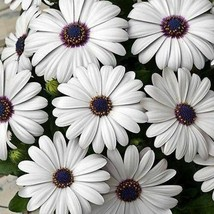 SHIP FROM USA African Daisy White Flower Seeds (Dimorphotheca Ecklonis W... - $23.92