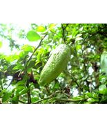 Live Plant Lime Tree Finger Caviar Fruiting Ins/Out NO Ship to TX FL AZ ... - $148.99