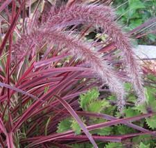 5 Pennisetum ' Fireworks ' Fountain Grass  - Live Plants - Bottlebrush plumes - $37.32