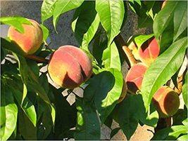 3 Seeds - Nemaguard Peach Prunus Persica Tree Seeds #TSP - $17.99