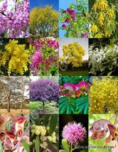 ACACIA TREES MIX rare flower wattles desert Vachellia bonsai tree SEED 100 seeds - $40.00