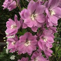 100 Pcs Pink Perfection Larkspur Seeds #MNSF - $14.00