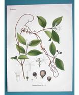 RUBBER TREE LIANA Landolphia Watsoniana - Beautiful COLOR Botanical Print - $19.09