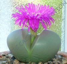 Rare Argyroderma Testiculare @J@ Mesemb Mesembs Rock Living Stones Seed 20 Seeds - $18.00