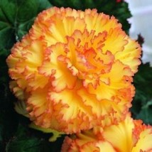 50pcs Beautiful Begonia Flower Seeds Mix Colors Perennial Potted Bonsai ... - $1.99