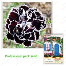 50 Fresh Seeds of Rare White Black Carnation Flower Dianthus Chinensis - $4.31