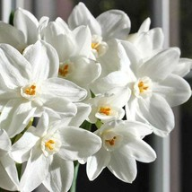 Ziva Paperwhite Narcissus - 4 Bulbs - 15/16 cm Bulbs - Indoor/Very Fragrant - $30.99