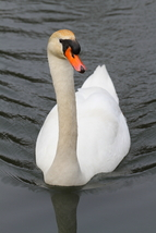Mute Swan 13 x 19 Unmatted Photograph - $35.00