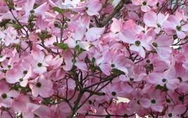 "Pink Dogwood tree 8-12"" tall 2 1/2"" pot image 1"