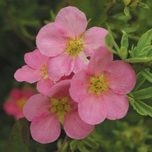 POTENTILLA FRUTICOSA 'PINK BEAUTY'-SHRUBBY CINQUEFOIL- PLANT- APPROX 8-1... - $33.99