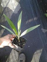 Seashore Palm - 3 Live Plants in 4 Inch Pots - Allagoptera Arenaria - Extremely  - $79.17