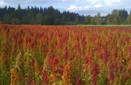 SHIP FROM US 85 Seeds Brilliant Rainbow Quinoa,DIY Plant Seeds SR - $13.50