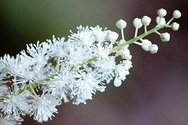 Black Cohosh wildflower 5 bulb/root  image 1