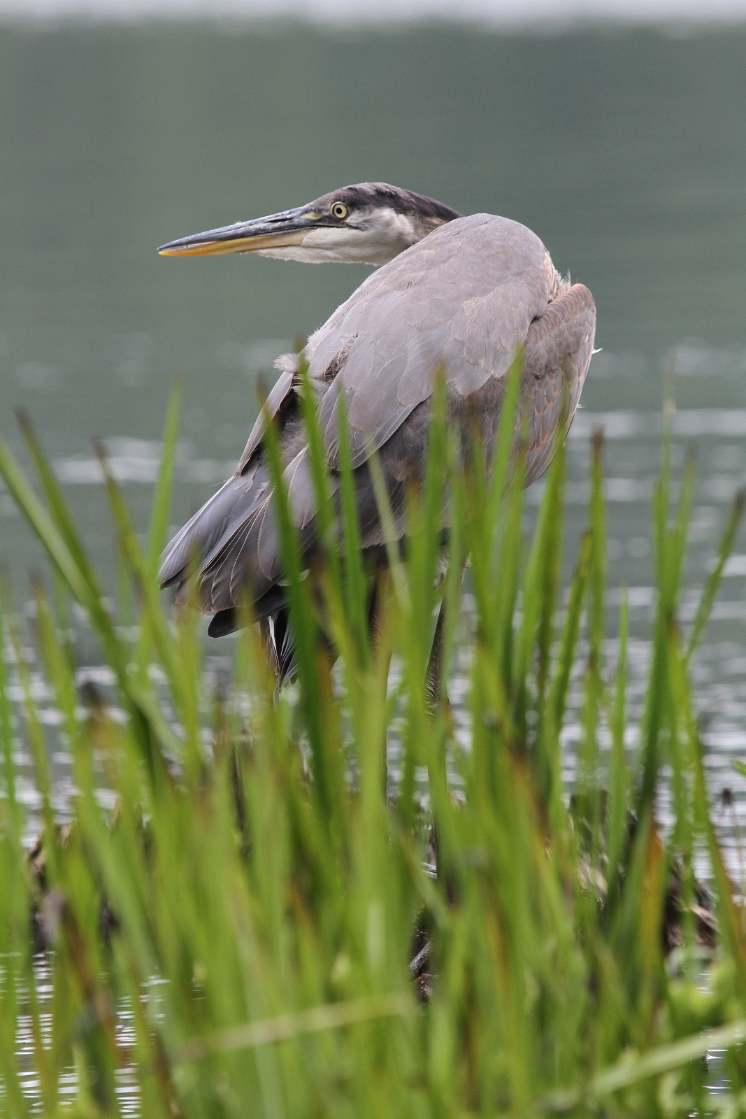 Great Blue Heron 13 x 19 Unmatted Photograph