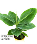 SHIP FROM US Dwarf Cavendish Banana Musa Plant Fruit Tree LIVE PLANT WSP2 - $60.00