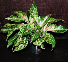 "NICE Aglaonema Sparkling Sarah Chinese evergreen Tropical Houseplant 6""  - $73.99"