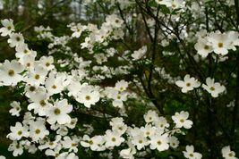 "White Flowering Dogwood 4"" pot (cornus-florida) image 5"
