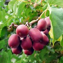 100 Ken's Red Kiwi seeds Actinidia arguta hardy to -25 USA SELLER - $19.98