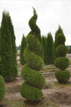 "25 EMERALD GREEN Arborvitae 3""pot - (Thuja occidentalis) image 3"