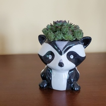 Raccoon Planter with Succulent, Live Plant Gift, Hens and Chicks, Sempervivum image 1
