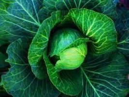 Copenhagen Market Early Cabbage Heirloom Seeds 250 seeds - $4.39