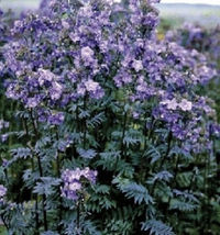 Outdoor Living – Garden - Polemonium Yezoense Purple Rain 30 Seeds - tgi - $49.95