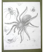 ENTOMOLOGY Insects Spiders Order Aptera Genus Aranea - 1820 ABRAHAM REES... - $18.36