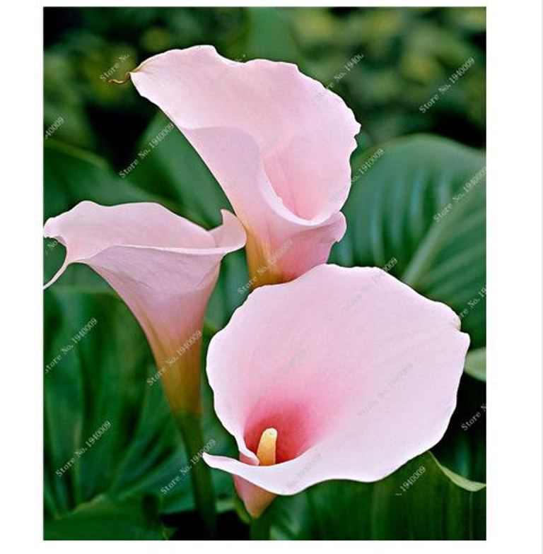 HAPPY FLOWER 2 Bulbs True LIGHT PINK Calla Lily Flower Zantedeschia Love Symbol