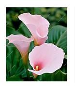 HAPPY FLOWER 2 Bulbs True LIGHT PINK Calla Lily Flower Zantedeschia Love... - $2.48