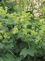 1 Strater Plant of Alchemilla Mollis - Lady's Mantle - $45.54