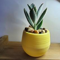 "Panda Succulent in Yellow Self-Watering Pot - Live Plant Kalanchoe 3"" Planter image 4"