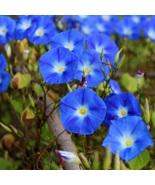450 Seeds - Heavenly Blue Morning Glory - Untreated/Fresh - Gardenig  - $32.00