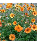 20pcs Geum 'Totally Tangerine' Avens Flower Seeds Very Wonderful IMA1 - $14.91