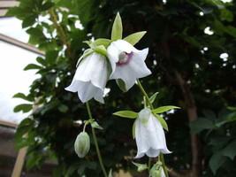 Codonopsis clematidea 300 seeds Flower seeds - $0.99
