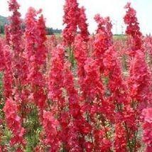 100 Red Delphinium Seeds Perennial Garden Flower Bright Seed - TTS - $23.95