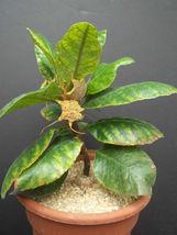 DORSTENIA CUSPIDATA rare caudex exotic africa caudiciform bonsai seed 5 SEEDS - $18.00