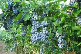 "Blueberry ""Jewel"" High Bush live plant vaccinium - £22.13 GBP"