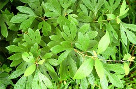 1 Plant Sassafras Tree Fragrant  Established Roots in 1 Gallon Pot - $61.49