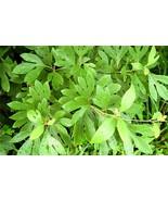 1 Plant Sassafras Tree Fragrant  Established Roots in 1 Gallon Pot - $61.49